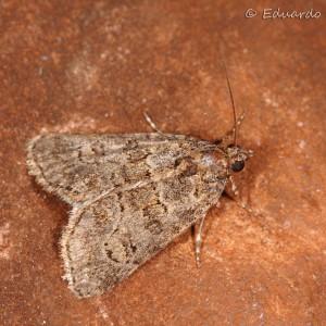 Bryophila microglossa