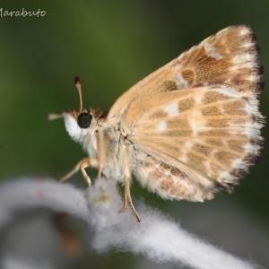 Carcharodus boeticus