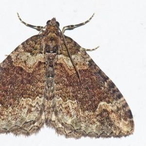 Catarhoe basochesiata
