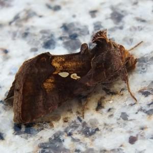 http://naturdata.com/images/species/8000/Chrysodeixis-chalcites-8098-138679932850232-tb.jpg
