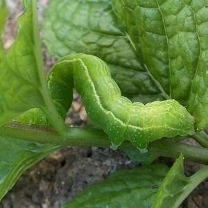 http://naturdata.com/images/species/8000/Chrysodeixis-chalcites-8098-138679933363745-tb.jpg