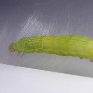 http://naturdata.com/images/species/8000/Chrysodeixis-chalcites-8098-138679934097900-tb.jpg