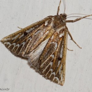 Compsoptera jourdanaria