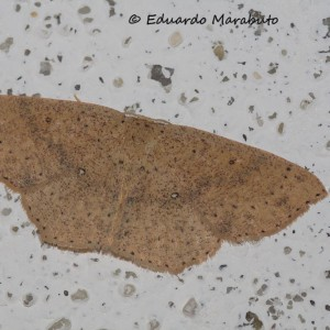 Cyclophora hyponoea