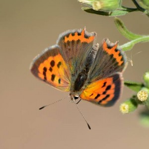 http://naturdata.com/images/species/8000/Lycaena-phlaeas-8790-141028228544208-tb.jpg