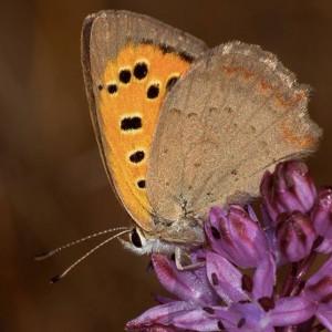 http://naturdata.com/images/species/8000/Lycaena-phlaeas-8790-141216120748665-tb.jpg