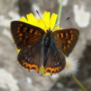 http://naturdata.com/images/species/8000/Lycaena-phlaeas-8790-142489942032871-tb.jpg