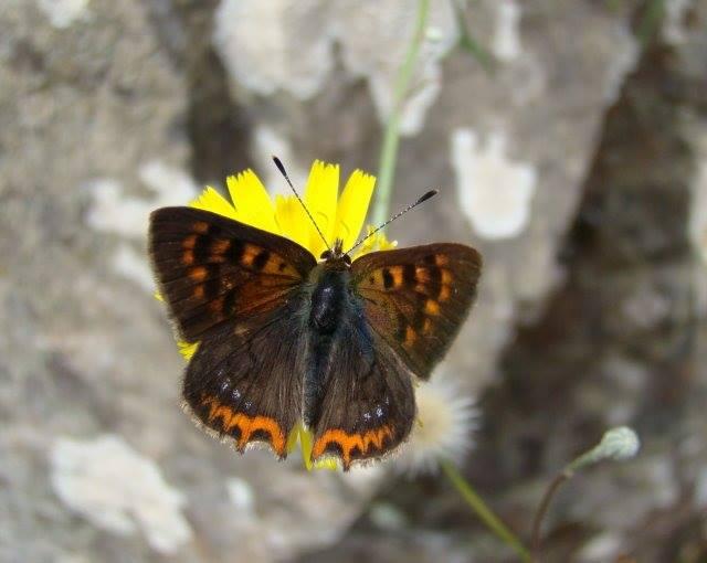 Subsp. phlaeoides © Ana Lucínia Freitas