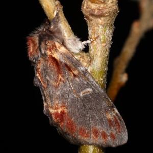Notodonta dromedarius