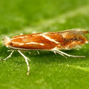 Phyllonorycter corylifoliella