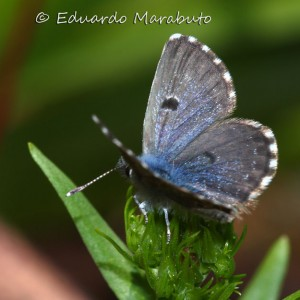 Imago - macho © Eduardo Marabuto