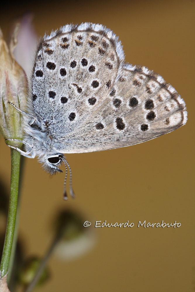 Imago, face ventral © Eduardo Marabuto