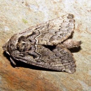 Rhegmatophila alpina