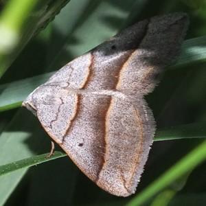 Scotopteryx luridata