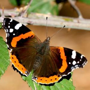 http://naturdata.com/images/species/8000/Vanessa-atalanta-8876-134468241841072-tb.jpg