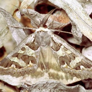 Cerocala scapulosa