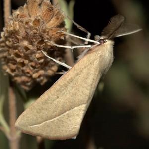 Compsoptera opacaria
