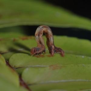 Cyclophora azorensis