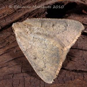 Dasypteroma thaumasia