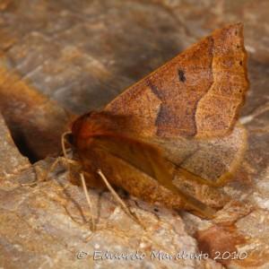 Crocallis tusciaria