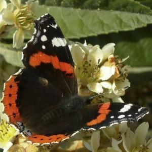 http://naturdata.com/images/species/8000/thumbnail_1292358018.jpg