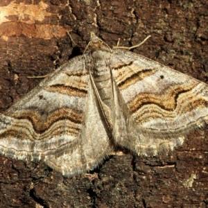 Scotopteryx peribolata