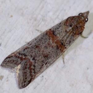 Acrobasis bithynella