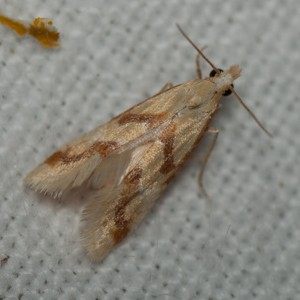 Aethes bilbaensis
