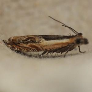 Ancylis apicella