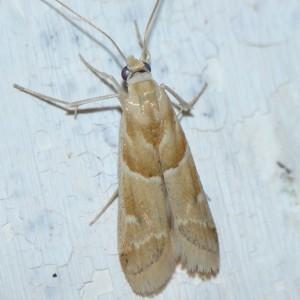 Ancylosis convexella