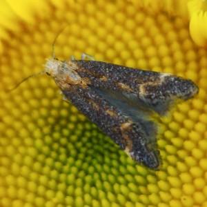 Apodia bifractella