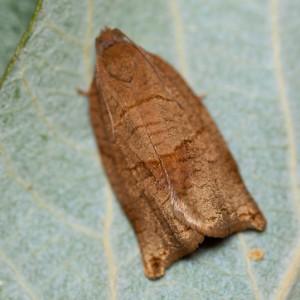 http://naturdata.com/images/species/9000/Cacoecimorpha-pronubana-9593-140268043196614-tb.JPG