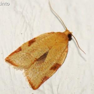 Clepsis siciliana