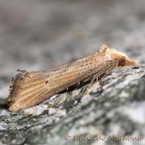 Cochylimorpha decolorella