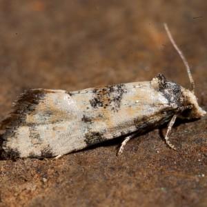 Cochylis pallidana