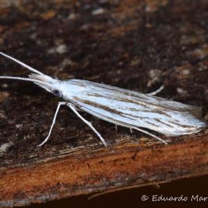 Coleophora strigosella
