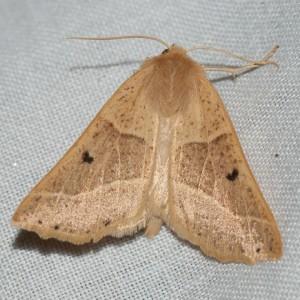 Crocallis albarracina