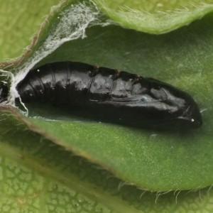 Dichomeris acuminatus
