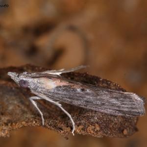 Epischnia illotella