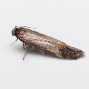 Eulamprotes immaculatella