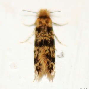 Eumasia parietariella