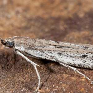 Homoeosoma nimbella