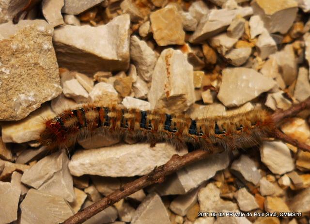 Larva © Carlos M. Silva