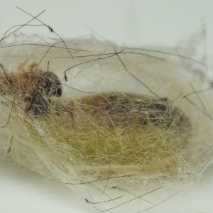 http://naturdata.com/images/species/9000/Orgyia-antiqua-9500-140985382720330-tb.JPG