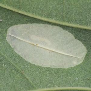 http://naturdata.com/images/species/9000/Phyllonorycter-messaniella-9032-140967969880053-tb.JPG
