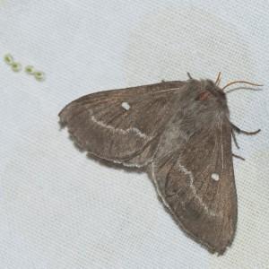 http://naturdata.com/images/species/9000/Psilogaster-loti-9531-138317440270084-tb.jpg
