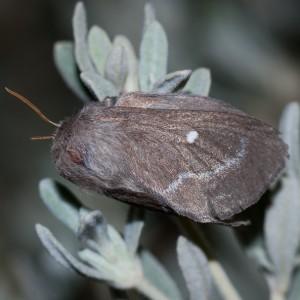 http://naturdata.com/images/species/9000/Psilogaster-loti-9531-138317440611560-tb.jpg