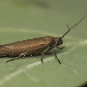 Scythris scipionella