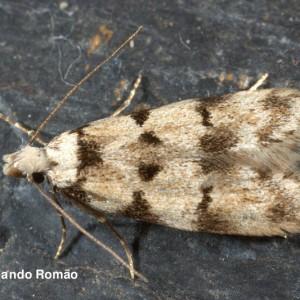 Symmoca nigromaculella