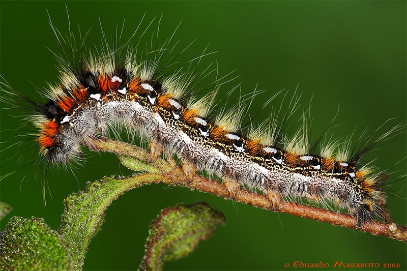 Larva L5 © Eduardo Marabuto